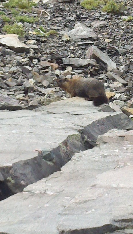 Marmot or whistle pigs as some call them.