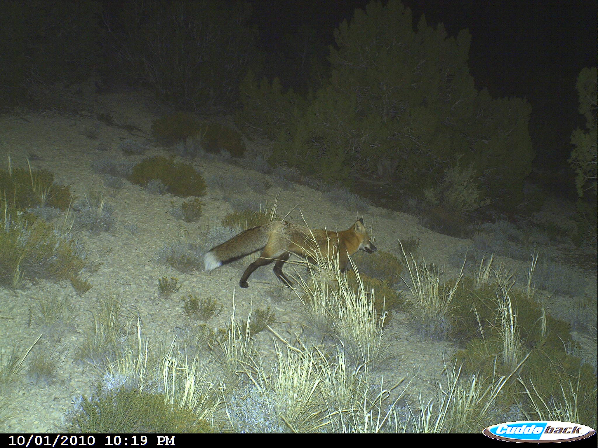 The Red Fox are cute and roam everywhere.